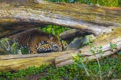 Joung Jaguar Cat. Playful young beautiful jaguars in the jungle Stock Images