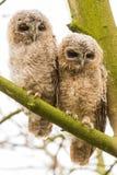 joung Tawny Owls do close-up 2 Imagem de Stock
