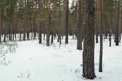 Jour calme en hiver dans la forêt de pin Image stock