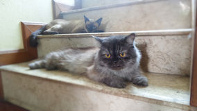 Jour confortable de chat persan et de chat siamois Image stock