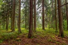 Jour d'été ensoleillé dans la vieille forêt images libres de droits
