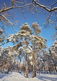Jour d'hiver dans une forêt de pin photographie stock libre de droits