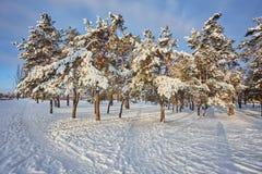 Jour d'hiver dans une forêt de pin photographie stock
