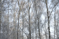 Jour d'hiver de forêt de bouleau Image libre de droits