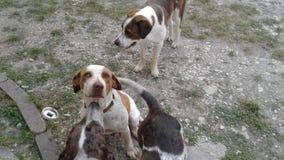 Jour de chiens Photographie stock