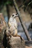 Jour de détente de Meerkat Image libre de droits