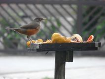 Jour de fête urbain de fruit d'oiseau image libre de droits