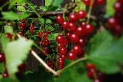 jour de groseilles rouges de buisson dans le jardin Photo stock