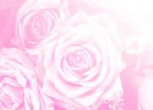 Jour de valentines d'amour de conception de fond de nature de fleur de Rose pour le DES Image libre de droits