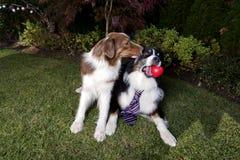 Jour de valentines de pure race de Paw Laying Garden Couple Happy d'animal familier animal rouge de coeur de valentines d'amour d Photographie stock libre de droits