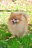 Jour ensoleillé chaud d'automne de Pomeranian en parc Images libres de droits