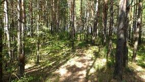 Jour ensoleillé d'été, petit chemin parmi de hauts pins et herbe verte banque de vidéos