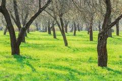 Jour ensoleillé d'allée de verger au printemps Image libre de droits