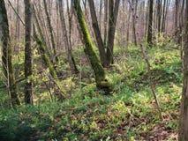 Jour ensoleillé de vieille forêt de ressort photographie stock