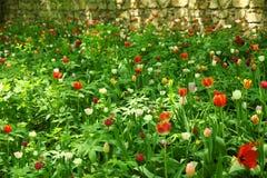 Jour ensoleillé, tulipes en parc Photos stock
