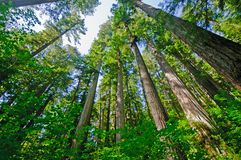 Jour ensoleillé dans les séquoias côtiers Photo libre de droits