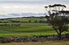 Jour hivernal à une vigne dans McLaren Vale Photos libres de droits