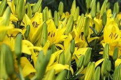 Jour jaune Lily Flowers Photographie stock libre de droits