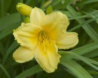 Jour Lillies fleurissant pendant l'après-midi Sun Photos stock