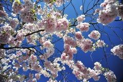 Jour lumineux et chaud de ressort de floraison de Sakura à Stockholm photo libre de droits