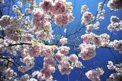 Jour lumineux et chaud de ressort de floraison de Sakura à Stockholm images stock