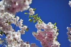 Jour lumineux et chaud de ressort de floraison de Sakura à Stockholm image stock