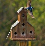 Jour mobile pour des oiseaux bleus Photo libre de droits