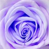 Jour neuf frais d'amour heureux violet de Rose. Photographie stock libre de droits
