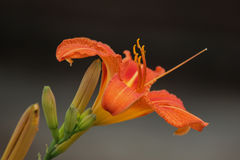 Jour orange coloré Lily With Blooms Photos stock