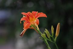 Jour orange coloré Lily With Blooms Photo stock