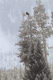 Jour sombre avec l'aigle chauve dans l'arbre images libres de droits