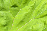 Journal of the common butterbur. Royalty Free Stock Image