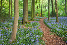 Journal par des bois de bluebell image stock
