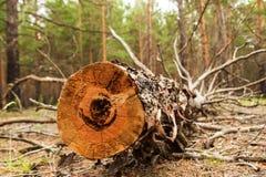 Journalen från det sågade trät i skogen Arkivfoton