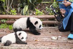 Journalist filming baby pandas first public display in Chengdu Research Base of Giant Panda Breeding. Royalty Free Stock Image