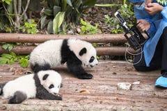 Journalistfilmande behandla som ett barn första offentliga skärm för pandor i Chengdu forskninggrund av jätten Panda Breeding Royaltyfri Bild