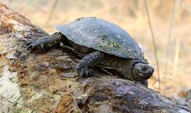 journalsköldpadda Royaltyfri Fotografi
