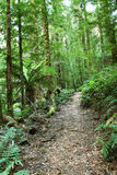 Journey. Through a temperate rainforest, with lush tree ferns and moss-covered mountain ash eucalyptus trees. Victoria, Australia Stock Image