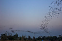 Journey of bats. Life of bats colony that always journey at night Royalty Free Stock Photography
