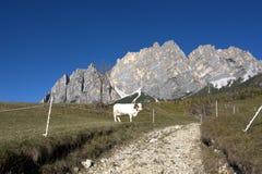 Dairy cows grazing under Mount Cristallo above Cortina D`ampezzo Royalty Free Stock Photos