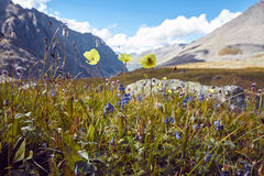 Journey on foot through the mountain valleys. Beauty of wildlife. Altai, the road to Shavlinsky lakes, Russia. Peaks of snowy Royalty Free Stock Image
