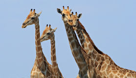 Journey of giraffe heads with a vivid blue background Royalty Free Stock Photos