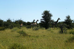 Journey of Giraffes. African Southern Giraffe, one of nine subspecies stock image