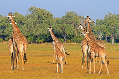 A journey of Giraffes on the open plains in Zambia Stock Photo
