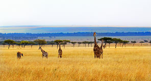A Journey of giraffes on he open savannah in Kenya Royalty Free Stock Photos