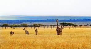 A Journey of giraffes on he open savannah in Kenya Royalty Free Stock Photos