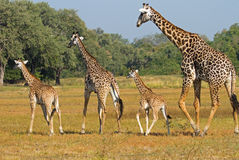 A journey of giraffes on the plains in South Luangwa. A family of giraffes walking across the lush plains in South Luangwa - Zambia Royalty Free Stock Image