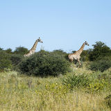 Journey of Giraffes Running Fast. African Southern Giraffe, one of nine subspecies stock photos