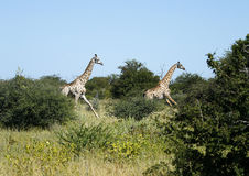 Journey of Giraffes Running Fast. African Southern Giraffe, one of nine subspecies royalty free stock photos