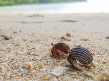 The journey of Hermit Crab. Royalty Free Stock Image